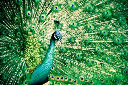 fanned: Portrait of Peacock with Feathers Out Stock Photo
