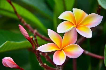 Close up of frangipani flower or Leelawadee flower blooming on the tree photo