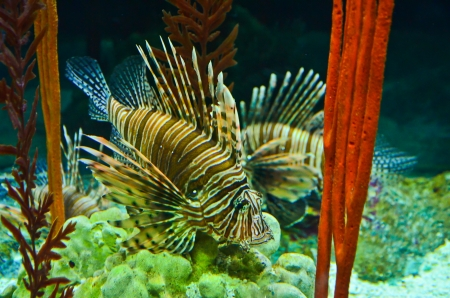 Tropical fish lionfish photo