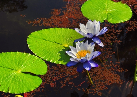 White water-lily and its reflection photo