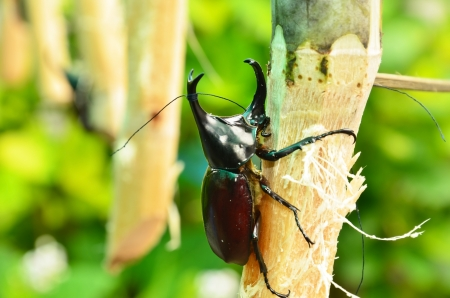 rearing: Rhinoceros beetle rearing to fight