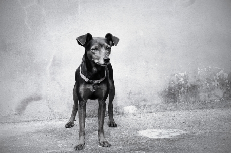 Pincher dog  in front of wall background photo