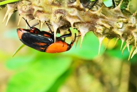 curculionidae: Beetle Rhynchophorus