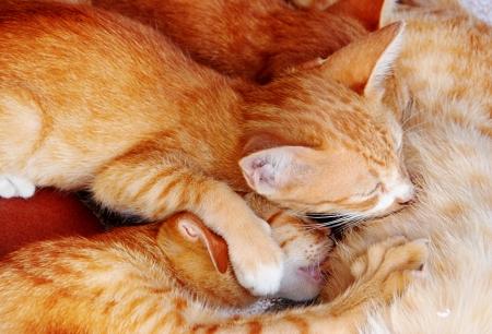 nipple young: Cat nursing her kittens
