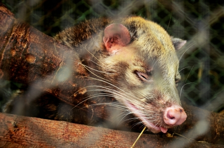 Asian Palm Civet - animal who produce the most expensive