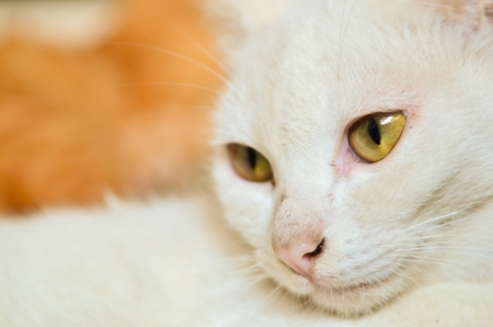 whiskar: White cat closeup