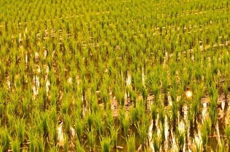 Paddy farm photo