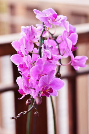 Beautiful purple orchid (Orchidaceae) photo