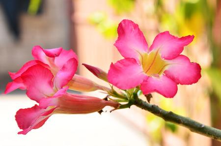 desert rose: Adenium obesum (Desert Rose)