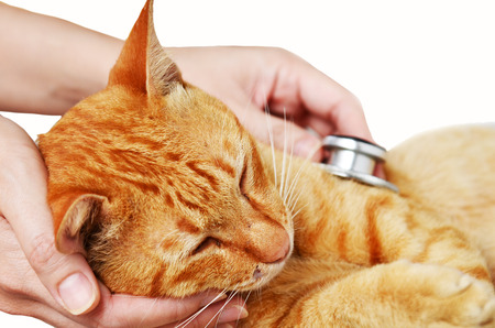 Dierenarts de behandeling van een kitten isoleren op wit