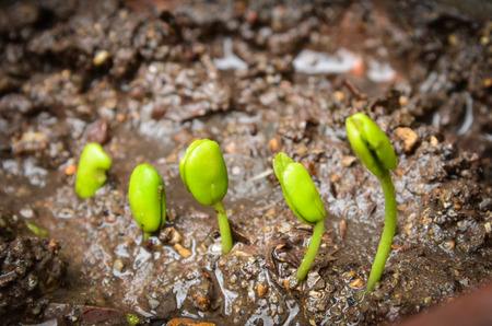 Step of growing tamarind sprout. photo