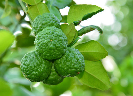 Kaffir Lime and Bergamot fruit on tree photo