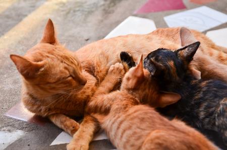 Cat Nursing her Kittens photo