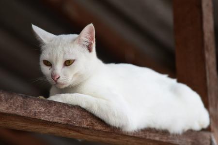 whiskar: White cat portrait