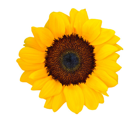 Bright colorful yellow sunflower isolated over white photo