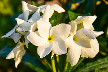 fragrant scents: Frangipani flower Stock Photo