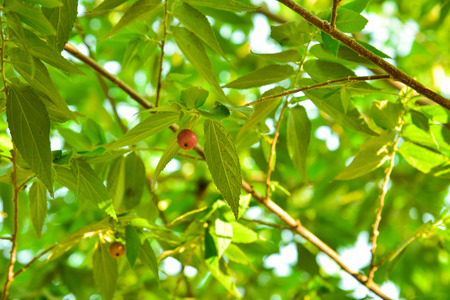 pulpy: Muntingia calabura. Asian cherry fruit