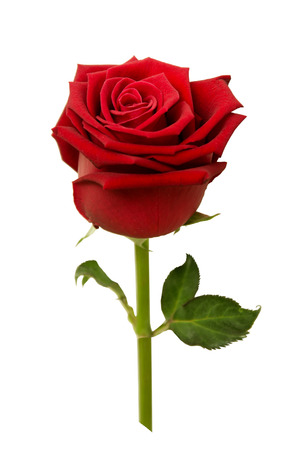 Red rose isolated on white background. photo