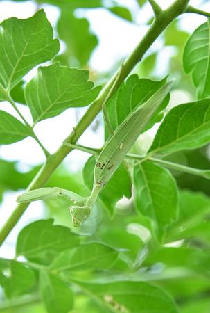 religiosa: Macro of green praying mantis on leaf  Mantis religiosa