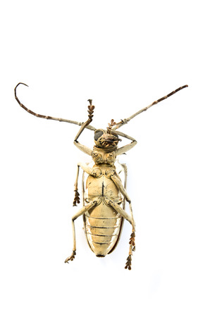 longhorn: Long-horn beetles isolated on a white background