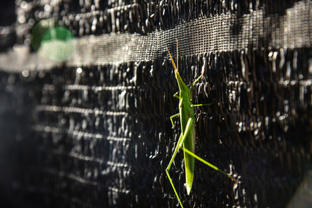 fruition: Grasshoppers Stock Photo