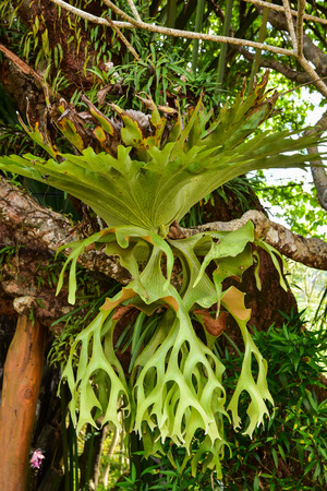 staghorn: Platycerium fern on the tree Stock Photo