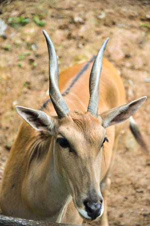 Close-up Male Impala