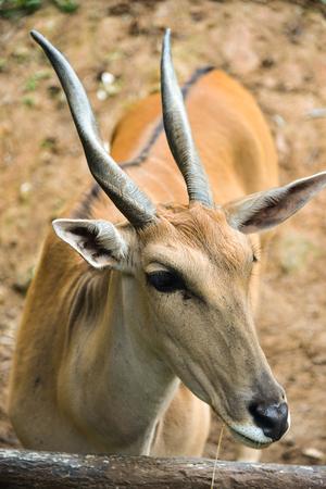 Close-up Male Impala