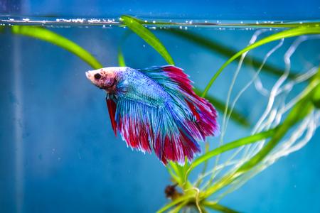 fish tank: Colorful battle fish Stock Photo