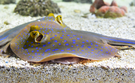 Spotted stingray fish