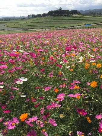 jardines con flores: cosmos flowers Foto de archivo
