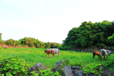 In Jeju, horses are slowly pulling the grass.