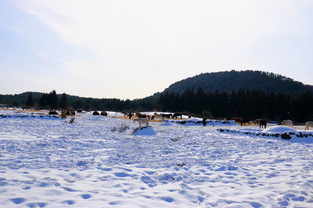 It is winter scenery of Jeju pasture.