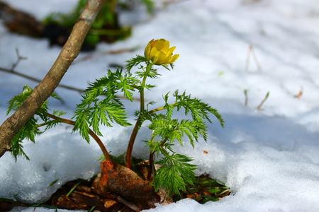 Adonis amurensis in the snow. 스톡 콘텐츠