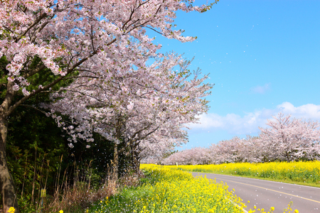 The cherry blossoms are beautiful roads. 스톡 콘텐츠 - 116490966