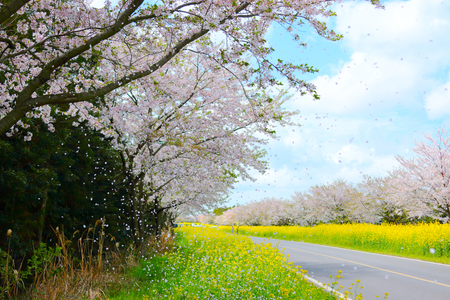 The cherry blossoms are beautiful roads. Stock fotó