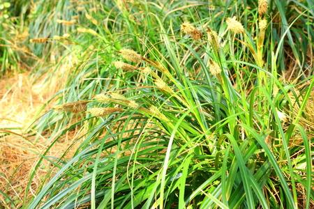 Carex boottiana Hooker et Arnott Stock Photo