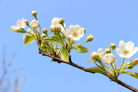 Pear tree flower Reklamní fotografie