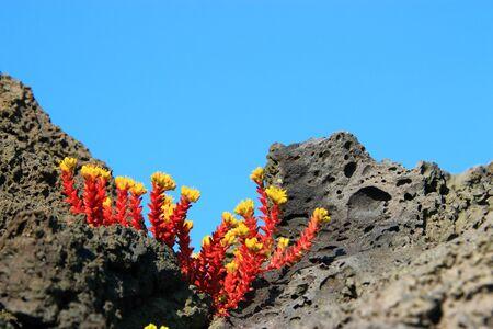 It is a landscape of oryzifolium that grows on rocks.