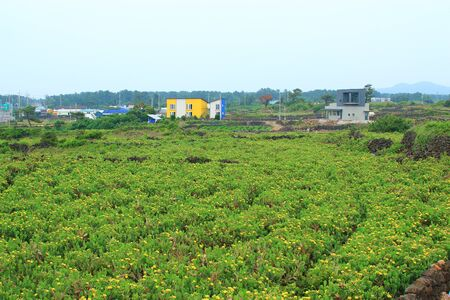 It is a scenery of cactus community in Jeju.