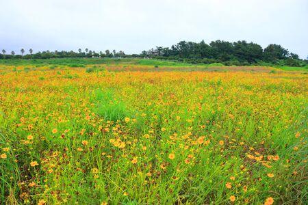 Jeju wildflowers are in bloom. Reklamní fotografie