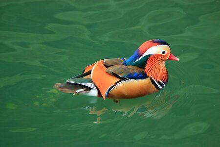 waterfowl in lake