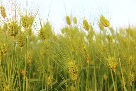 barley field , closeup