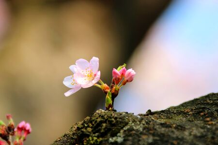 cherry blossom blooming in spring.