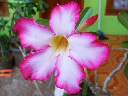 adenium: Flower - Adenium