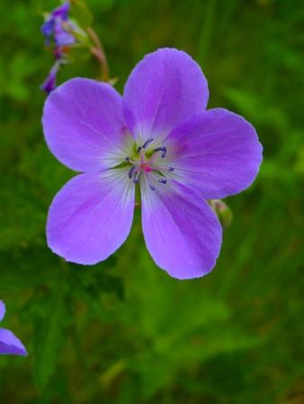 Purple Icelandic Flower