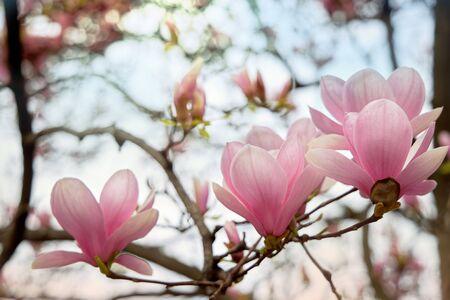 Beautiful magnolia flower. A closeup of a gently pink flower. Streaks on the petals. Blue light sky. Stock Photo