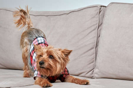 Beautiful breed of dog Yorkshire Terrier in a white shirt. Fashionable haircut at the dog. Stock fotó - 150638430