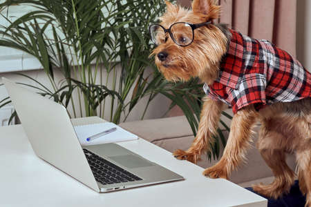 Cute terrier dog working on laptop at home. Technology concept. Dog in clothes. Stock fotó - 150638431