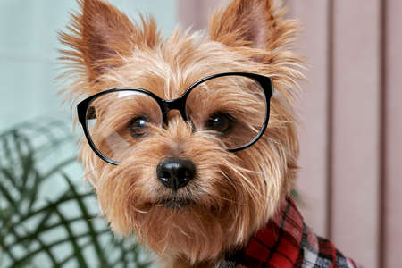 Close up of a beautiful cute muzzle of a small dog in big glasses for eyesight. The dog is looking at the camera. Breed Yorkshire Terrier. Stock fotó - 150638433